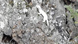 Tunceli'den sonra 3 ilde daha Beyaz Gelincik görüldü
