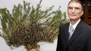 Yeni keşfedilen bitkiye Aziz Sancar'ın adı verildi