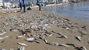 Alanya'da binlerce balık sahile vurdu