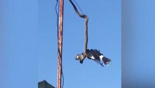 Piton yılanı kuşu havada yakaladı