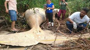 Dev balina ormanda bulundu