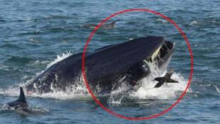 İnanılmaz olay! Dev balina dalgıcı yuttu