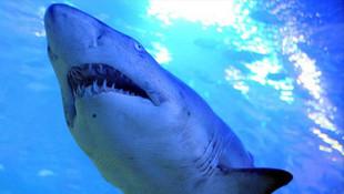İnternette satılık köpek balığı ilanı