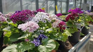 TBMM, kendi çiçeğini üretiyor