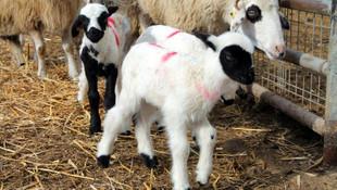 Bir koyun altız doğurdu