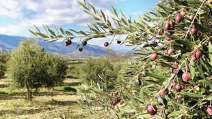 100 metre yol için 1000 zeytin ağacı kesilecek