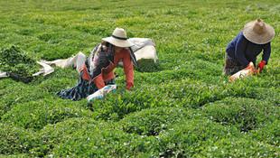 Tarımda yok olmanın eşiğine geldik: Çay bile ithal !