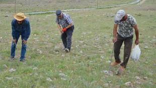 Domalan mantarının kilosu 80 liradan satılıyor