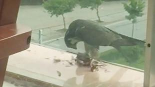 Yakaladığı güvercini balkona götürüp böyle yedi