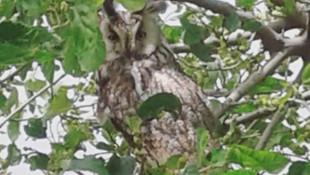 Diyarbakır'da boynuzlu baykuş görüldü