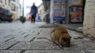 Avrupa'nın etekleri tutuştu: Fare virüsü yayılıyor...