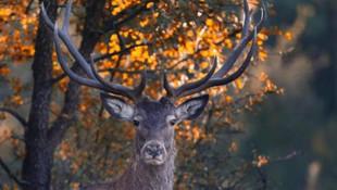 Mahkemeden ''geyik ihalesi''ni mahkeme durdurdu
