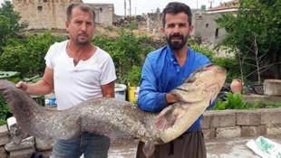 Böylesi görülmedi ! 2 metrelik yayın balığı yakaladılar !