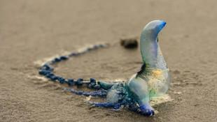 Fizalya denizanası hayatını kararttı !
