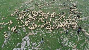 Çoban değil 'sürü yöneticisi' !