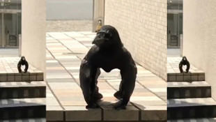 Gorili taklit eden karga sosyal medyada fenomen oldu