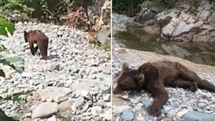 3 gün önce görüntülenen boz ayı öldürüldü