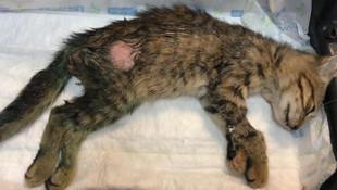 Kediyi önce saçmayla vurdular sonra işkence ettiler !
