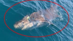 Boğazda dev köpekbalığı yakalandı !