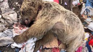 Ardahan'da çöplükte yemek arayan boz ayı öldürüldü