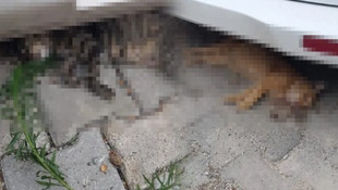 Korkunç şüphe ! Kediler zehirlenerek mi öldürüldü ?