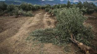 11 bin zeytin ağacı katledilecek