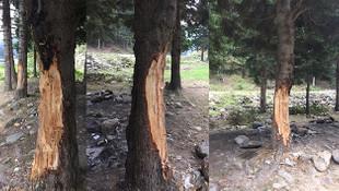 5 TL için 70 yıllık ağaçları katlettiler