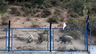 İstanbul'un göbeğinde yaban domuzu şaşkınlığı