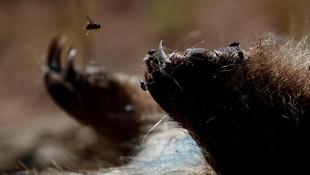 Felaket üstüne felaket yaşayan Avustralya'da örümcek alarmı !
