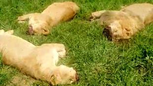 Vahşet ! Aslanları öldürüp, yüz ve pençelerini kestiler