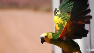 Papağan kaçakçılarına suçüstü