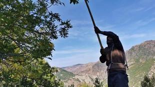 Tunceli'de tehlikeli ve zorlu ceviz hasadı