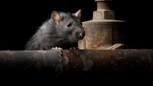 Yeni salgın alarmı! 50 kişi fareden bulaşan hastalığa yakalandı