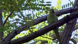 İstanbul'da istilacı olarak bilinen yeşil papağan sayısı giderek artıyor