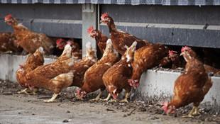Hollanda'da kuş gribi alarmı