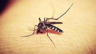 Yeni tip sivrisinek İstanbul'un 3 ilçesinin kabusu oldu