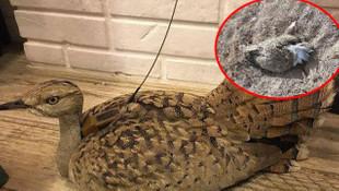 Trabzon'da tedavi edilen kuş, Yozgat'ta vuruldu