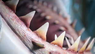 100 milyon dolarlık köpekbalığı
