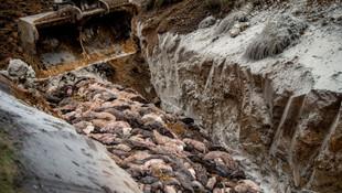 Dünyayı şoke eden görüntüler! ''Zombi'' vizonlar topraktan fışkırdı