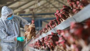 Kabus geri döndü. 330 bin tavuk yok edilecek!
