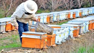 Nehir kıyısındaki binlerce arı telef oldu