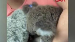 Sosyal medya oyuncak ayıyı annesi sanan bu koalayı konuşuyor