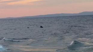 Saros Körfezi'nde dev köpekbalığı görüntülendi