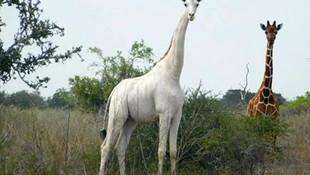 Nadir görülen albino zürafa öldürüldü!