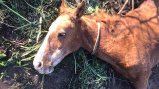 Yaşlı at ölüme terkedildi ! Yavrusu karnında ölmüş
