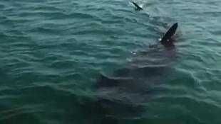 Limanda dev köpekbalığı paniği!