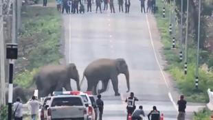 Tayland'da caddeyi fil sürüsü bastı