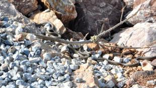 Sürü halindeki yılanlar vatandaşları korkutuyor