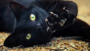 Siyah kedileri öldürüp ''koronavirüse'' çare diye yiyorlar iddiası !