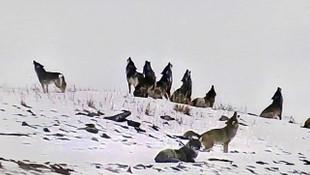 Köye inen kurt sürüsü 4 büyükbaş hayvanı telef etti